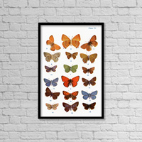 Different Types Of Butterflies. Illustration By W.s.furneaux. From The Book Butterflies, Moths And O