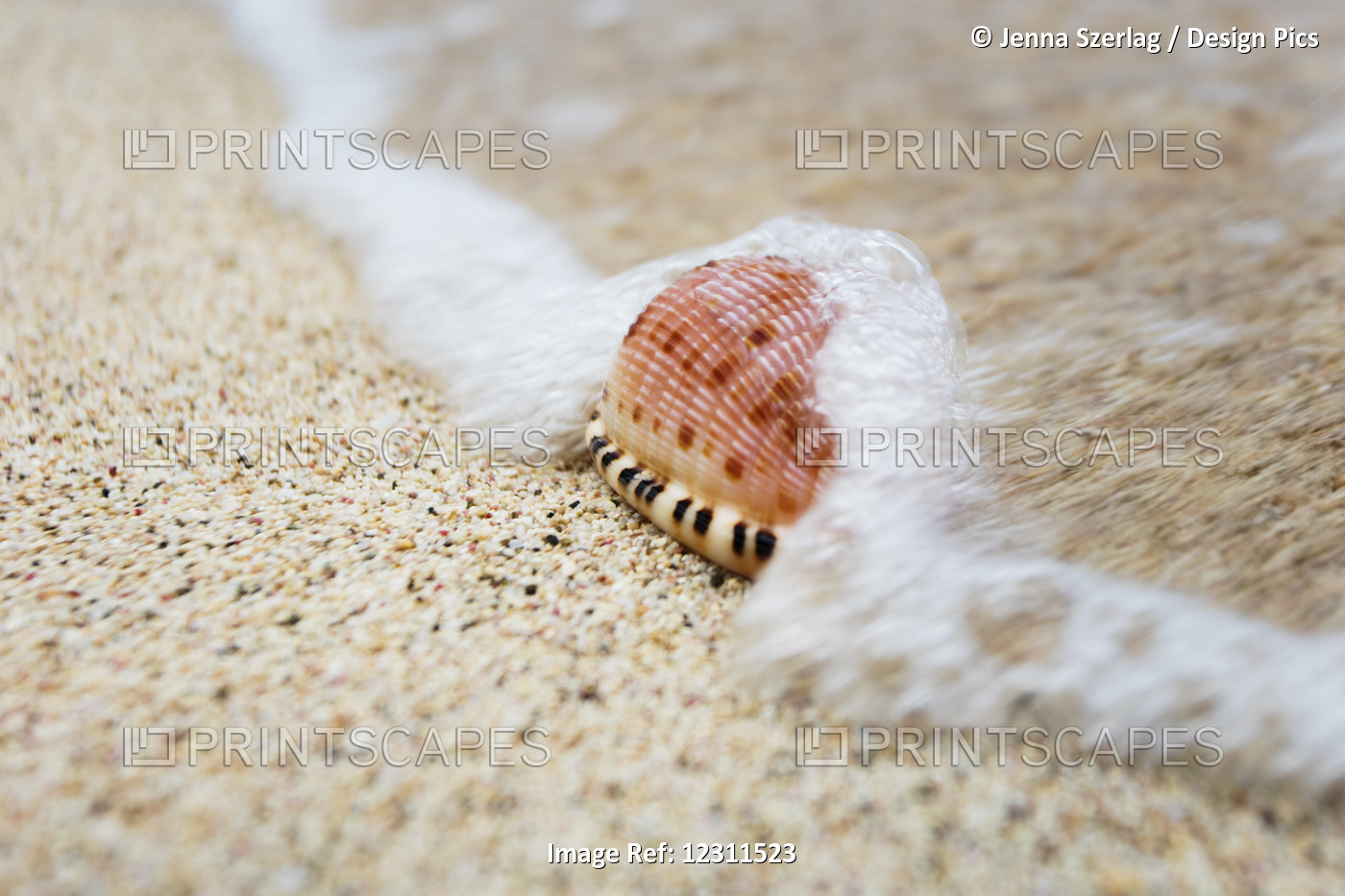 A Close Up Of A Cowry Shell On The Beach; St. Croix, Virgin Islands, United ...