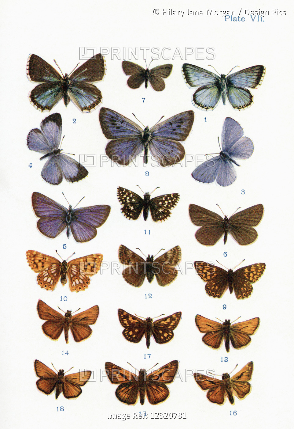 Different Types Of Butterflies. Illustration By W.s.furneaux. From The Book ...