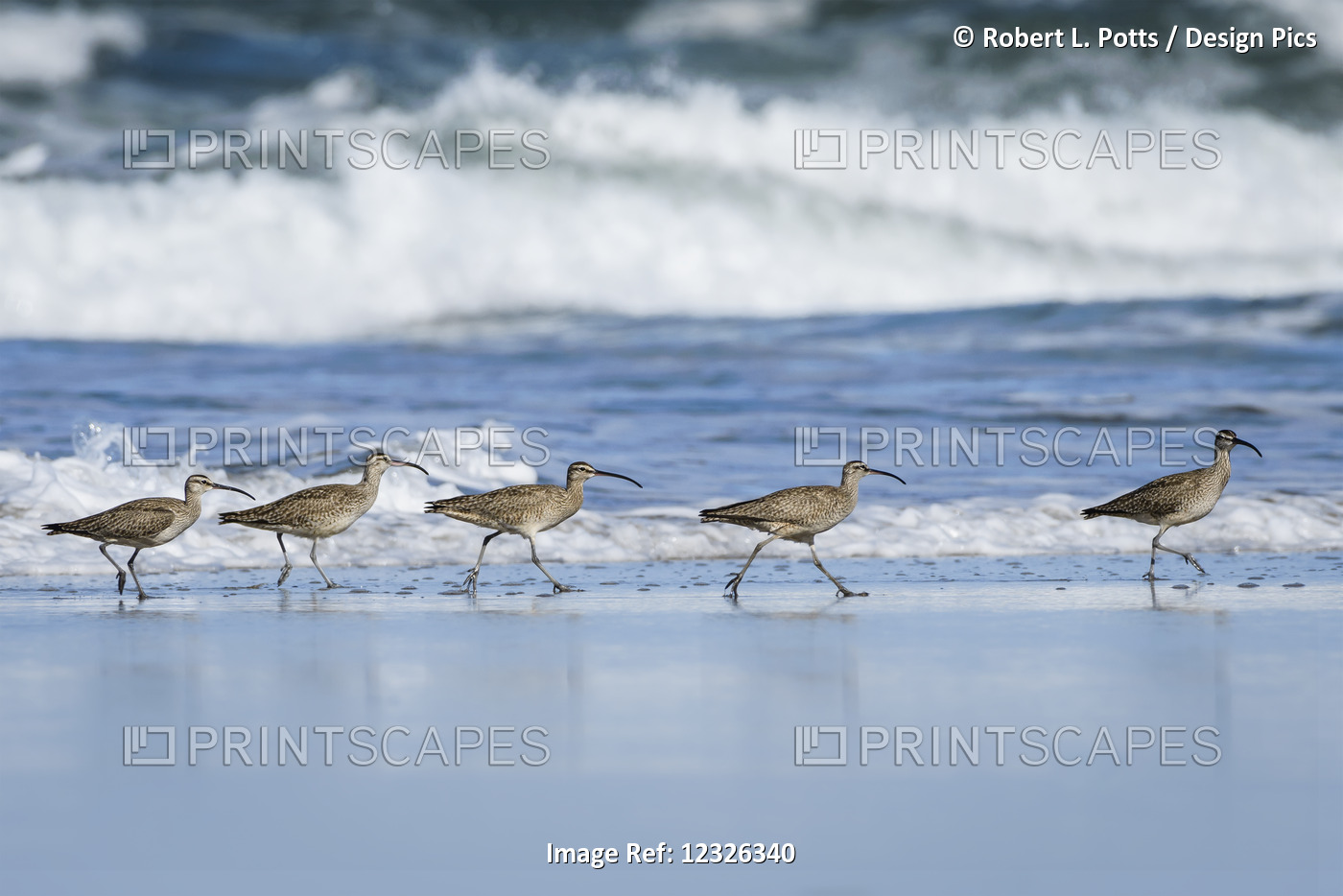 Whimbrels (Numenius Phaeopus) Look For Sand Crabs On The Beach In Oregon; ...