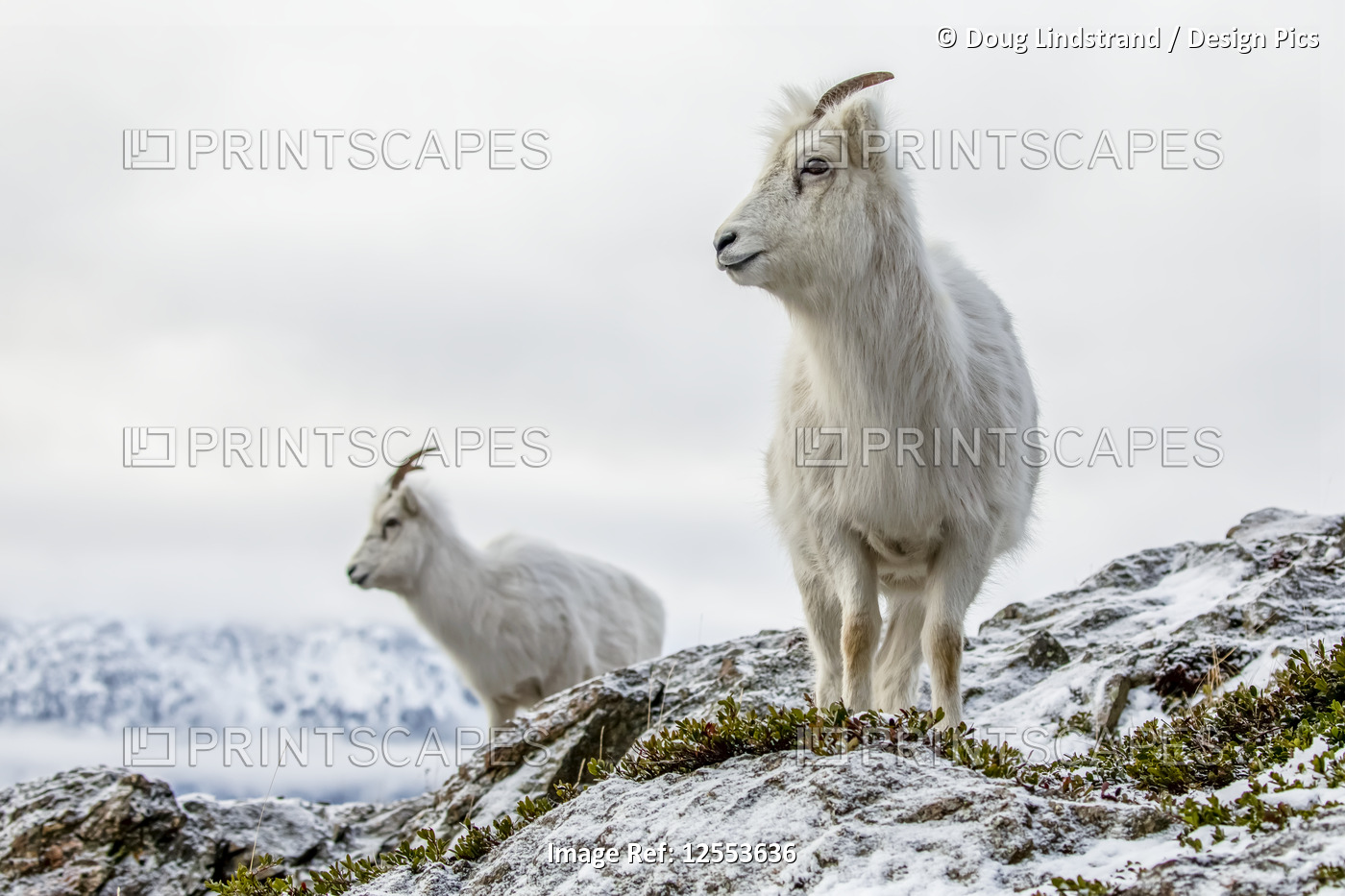 Dall sheep ewes (Ovis dalli) on the rocky hillside overlooking Turnagain Arm ...